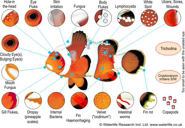 Marine fish disease diagnosis chart for Tropical fish diseases pictures